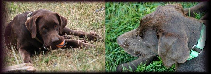 Dark Chocolate female for breeding, Dark Chocolate Labrador, Dark Chocolate labrador female, Dark Chocolate Labrador female for breeding Yelm WA Washington.