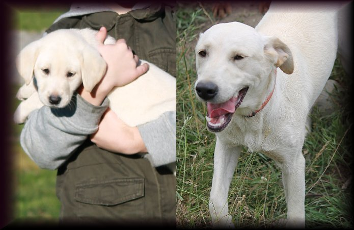 Meet Bailey - White Female Labrador for Breeding, White Female Labrador for Breeding, breeding White femail labrador, Meet Belaya Rus - White Female Labrador for Breeding Yelm Washington WA.