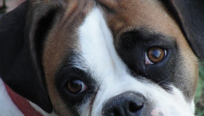 Olde English Bulldogges Puppies & Breeding