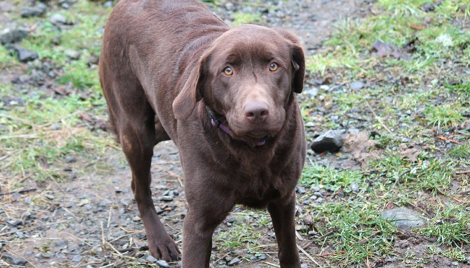 Berkley - Charcoal Female Labrador for Breeding. - image