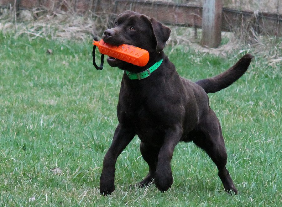 Chocolate Labrador Stud.