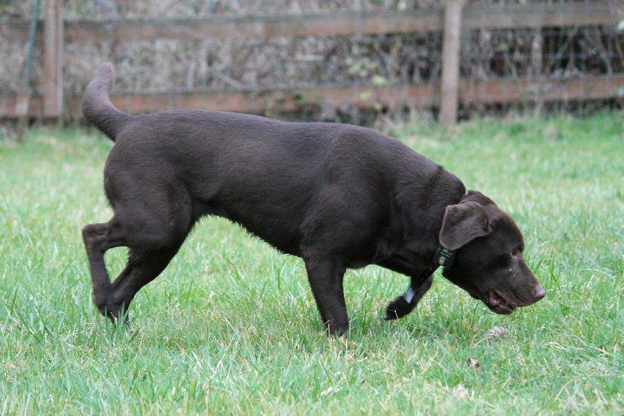 Ciroc - Charcoal Female Labrador for Breeding - image