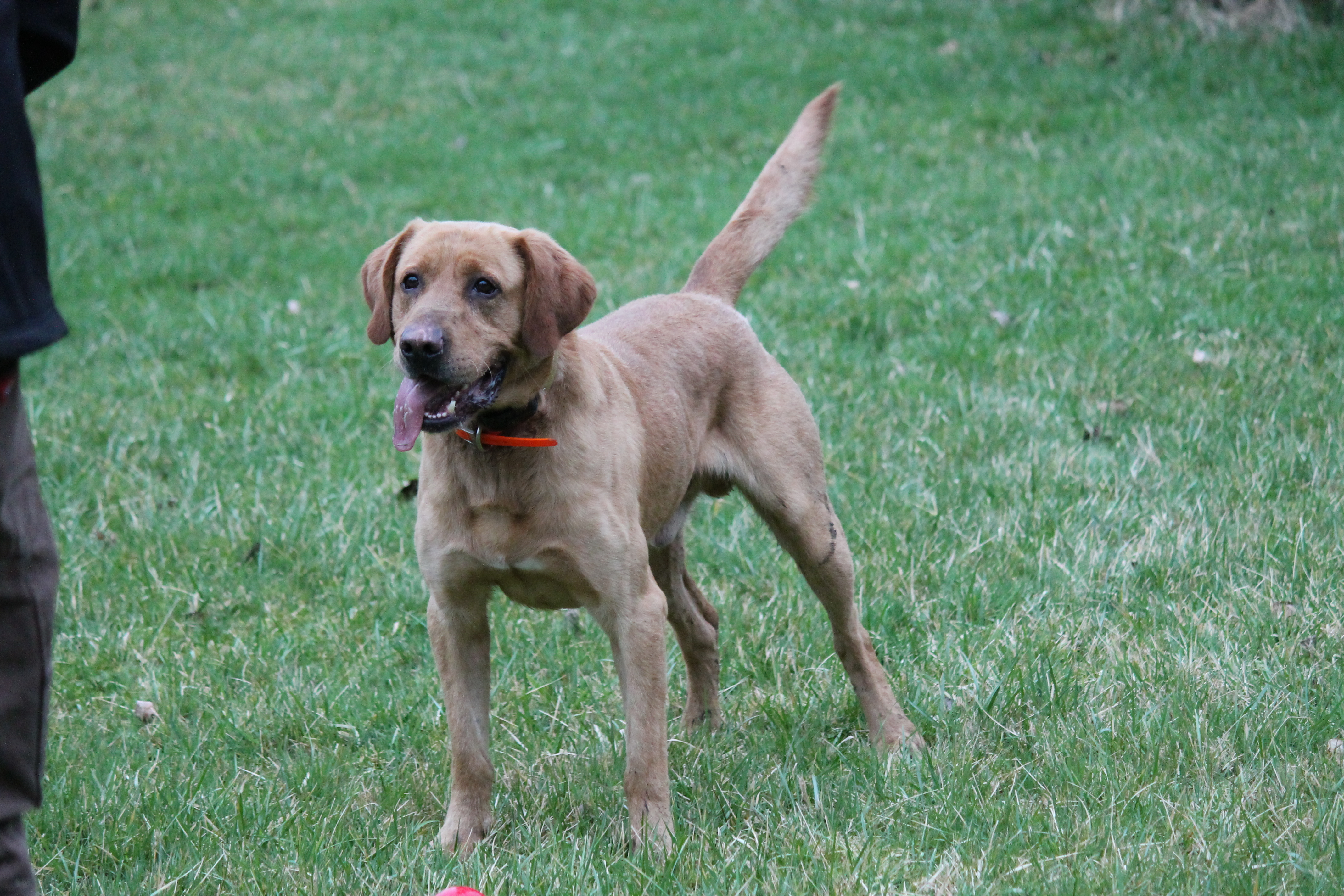 Light Red Labrador stud for Breeding - image