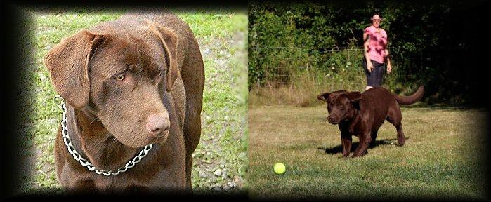 Chocolate Labrador For Stud Yelm Washington