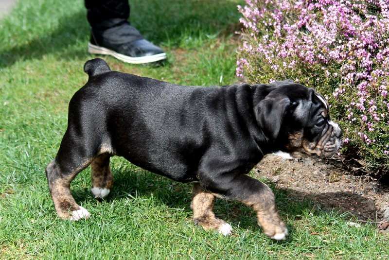 Black Trindle Olde English Bulldogge Eatonville wa Washington.