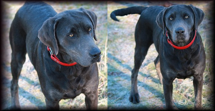 Charcoal Female Labrador for Breeding.