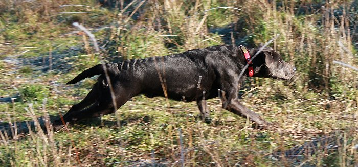 Circle B's Supre Hero Luha - Charcoal Female Labrador.