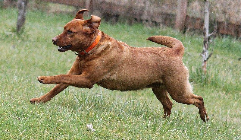 Meet Midori - Red Female Labrador for Breeding, Labrador breeding Eatonville wa Washington.