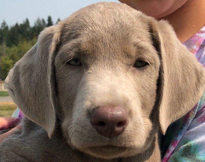 Labrador Retriever Puppy.