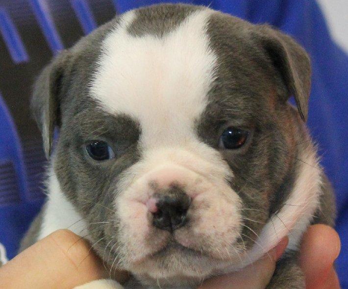 Olde English Bulldogge Puppy.