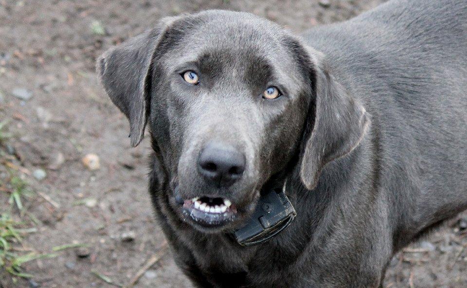 Opal - Charcoal Female Labrador for Breeding - image