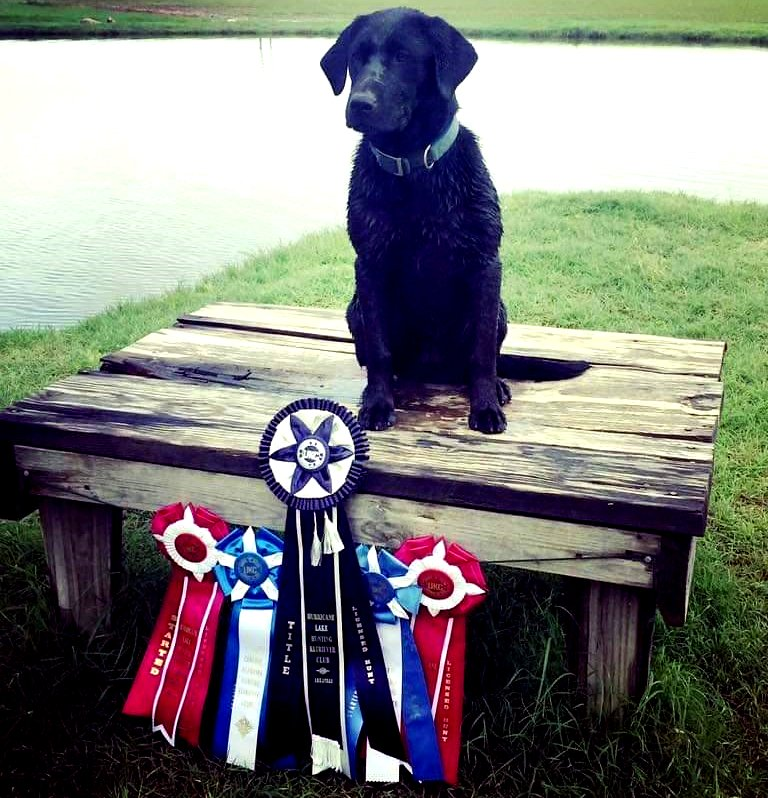 Meet Penelton - Black Female Labrador for Breeding Champion - Image.