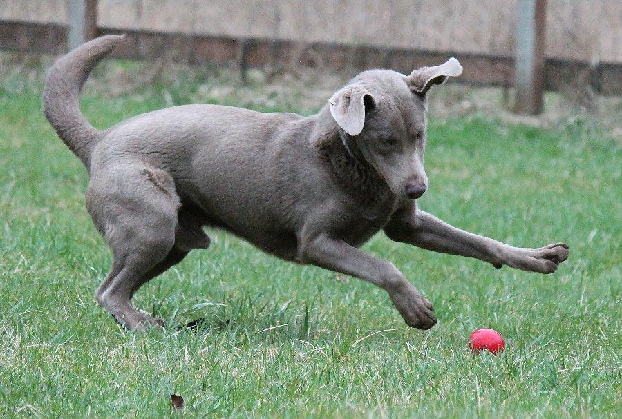 Silver Male Labrador For Stud.