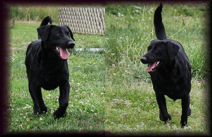Charcoal Female Labrador for Breeding.