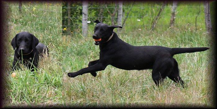Meet Belaya Rus - Black Female Labrador for Breeding, Black Female Labrador for Breeding, breeding Black femail labrador, Meet Belaya Rus - Black Female Labrador for Breeding Yelm Washington WA.