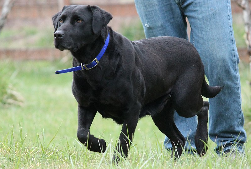 Black Female Labrador for Breeding.