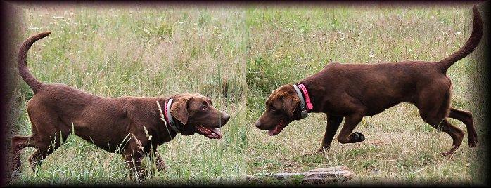 Female Labrador for Breeding Yelm wa Washington.