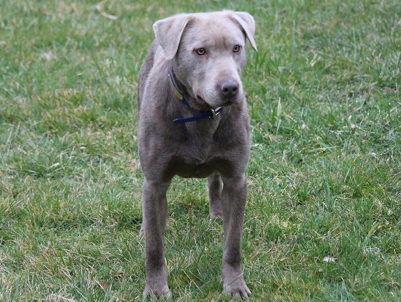 Silver Male Labrador.